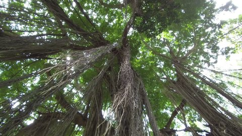 LOW ANGLE, CLOSE UP, LENS FLARE: Woody liana plants hanging from huge old tree in sunny Monkey Forest jungle in Ubud, Bali. Beautiful tangled vines on ancient banyan tree in tropical rainforest