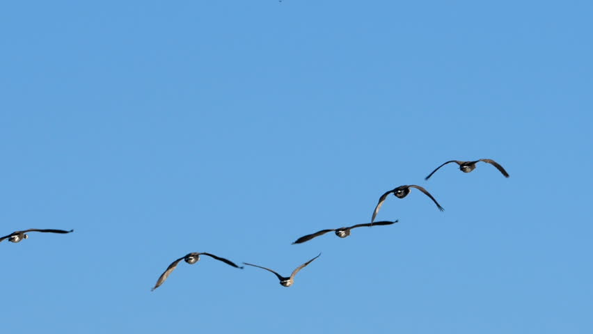 Geese In Flight | Shutterstock HD Video #30109819