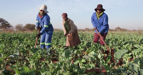 Community garden projects.Three African woman manually ploughing a kale field with a hoe