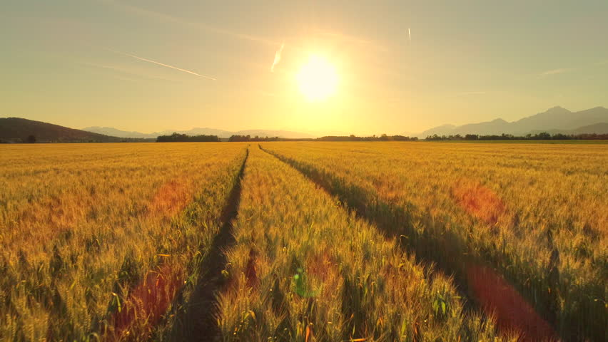 AERIAL, CLOSE UP: Flying above rutted road across beautiful golden wheat field in picturesque rural autumn landscape on sunny morning. Ripe plants on agricultural farmland at golden light sunrise #30367219