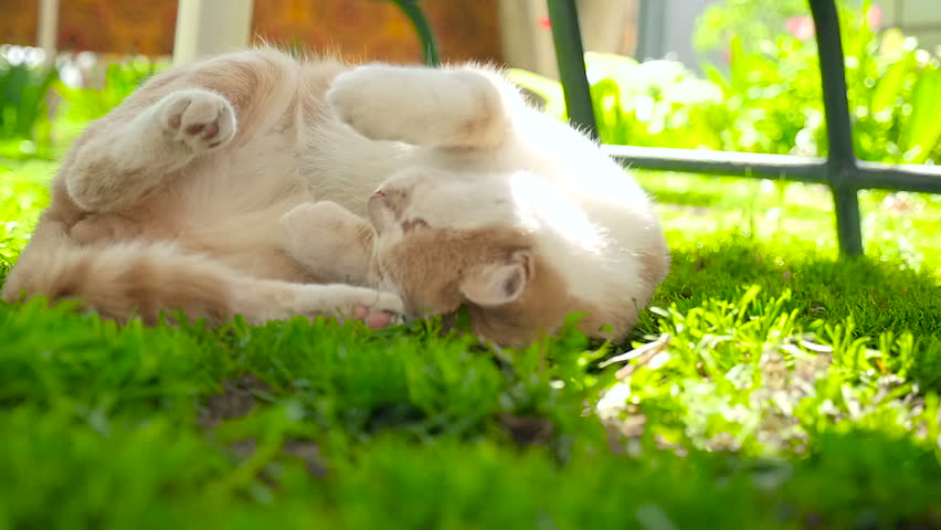 A ginger cat on a green lawn HD