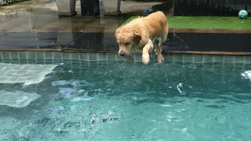 Funny Labrador Dog Diving In Swimming Pool In Summer. Slow Motion. 4K.