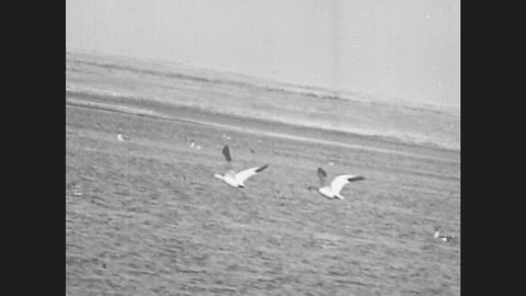 1940s: Flock of snow geese fly through air. Pelican flies through air.