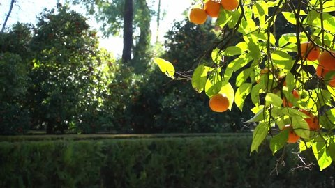 Orange tree in Alcazar Gardens. Alcazar of Seville is royal palace in Seville, Andalusia, Spain, originally developed by Moorish Muslim kings.