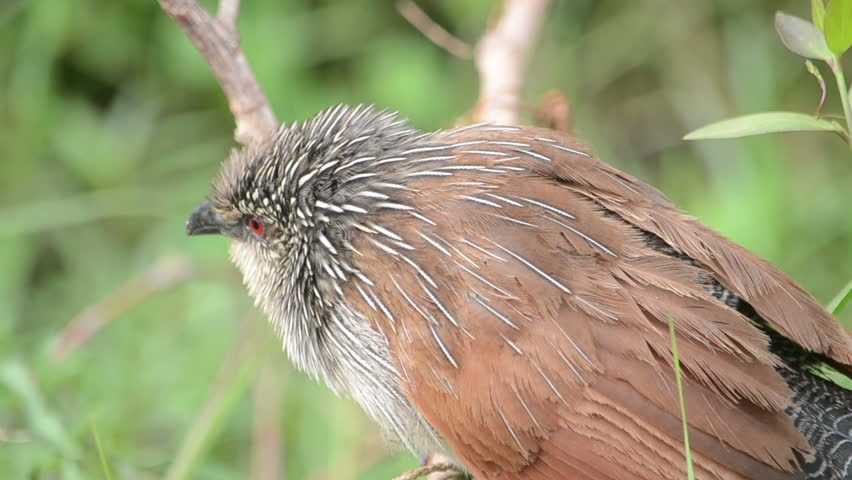 Header of coucal