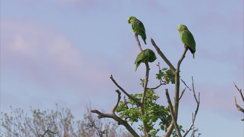 Header of Amazon Parrots