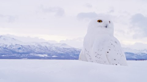 MS SELECTIVE FOCUS Snowy Owl (Bubo scandiacus) against winter landscape