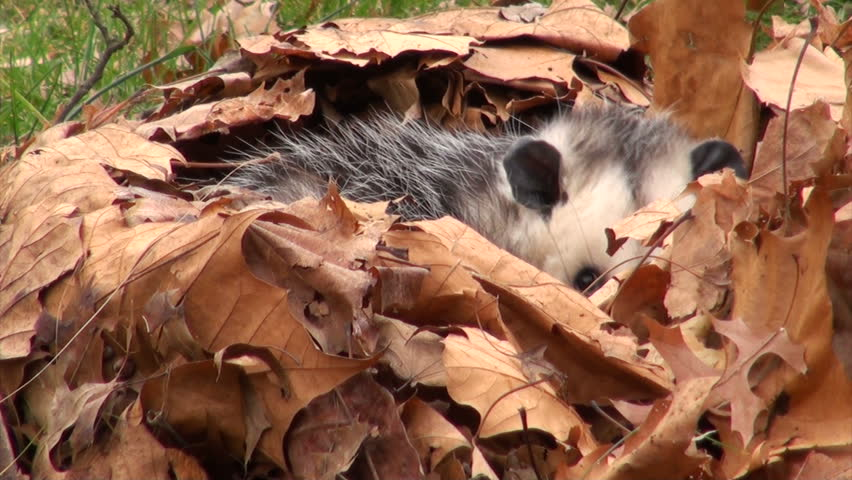 Large Virginia opossum with its mouth open and hissing while bedded in leaves. The opossum was not harmed.