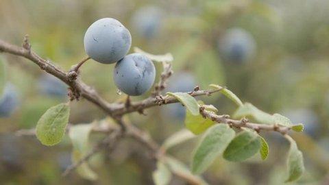 Field shrub of blackthorn sloe food 4K 2160p 30fps UltraHD footage - Close-up blue berries of Prunus spinosa fruit 3840X2160 UHD video