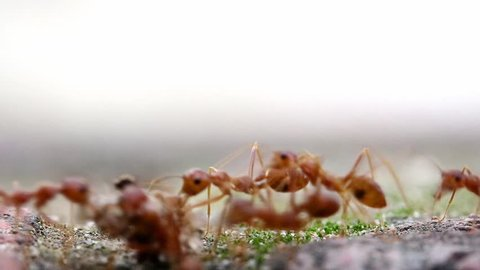 The team of ants carries a piece of material into the anthill. The Ant trail.