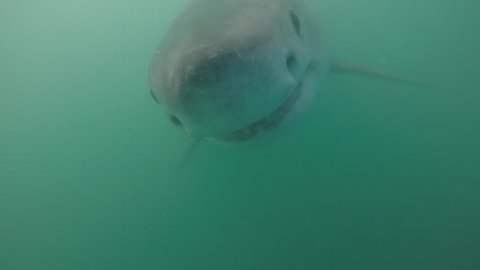 Great white shark goes head on into camera.