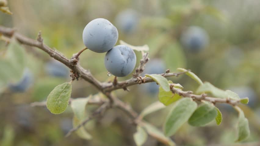 Close-up blue berries of Prunus spinosa 4K 2160p 30fps UltraHD footage - Fruit blackthorn sloe food background 3840X2160 UHD video