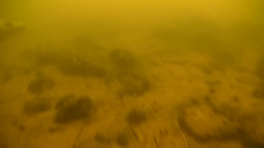 Walleye swimming at Last Mountain Lake