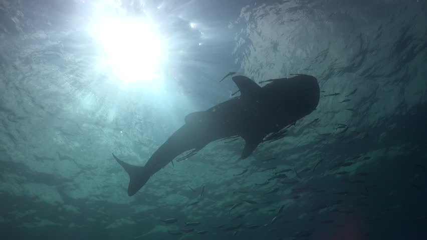 Whale shark and Sun Sail Rock/Gulf of Siam/Thailand/ Camera Sony AX100 with Gates Underwater Housing