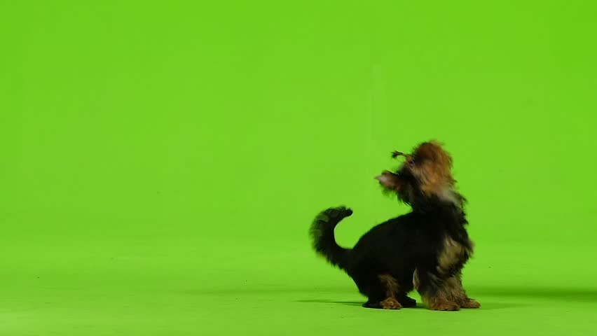 Dog on his hind legs asks for food. Green screen. Slow motion