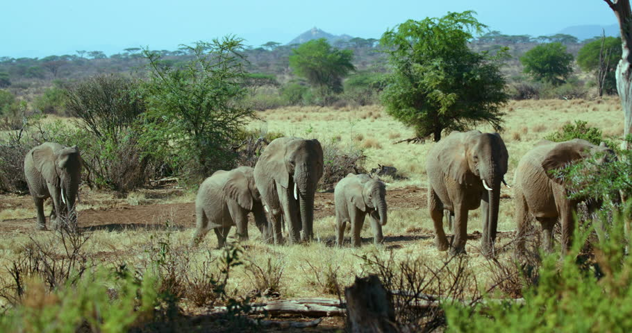 Header of African forest elephant