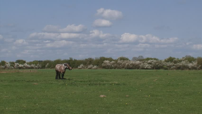 draft horse grazing in pasture, spring - wide shot. Large herbivore in typical Dutch river landscape with flowering blackthorn in background.