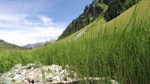 horsetail high in the mountains
