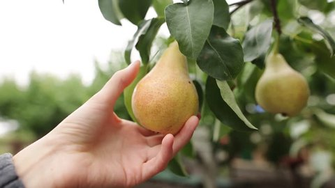 The woman takes a ripe juicy pear in her hand. The female hand touches the fruit on the tree during harvest on an organic farm. The concept of a healthy diet. Close-up.