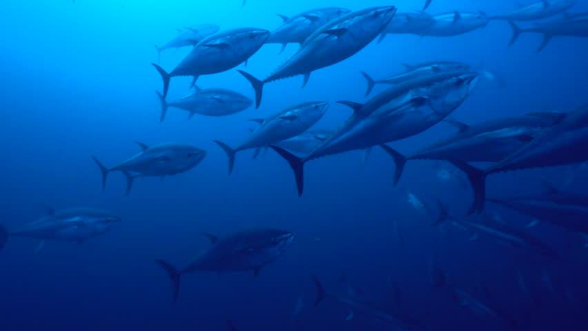 PAOLA - ITALY - 4 JUNE 2017 - Schools of tunas swimming in mediterranean sea