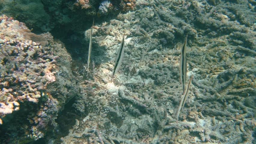 Header of Aeoliscus strigatus