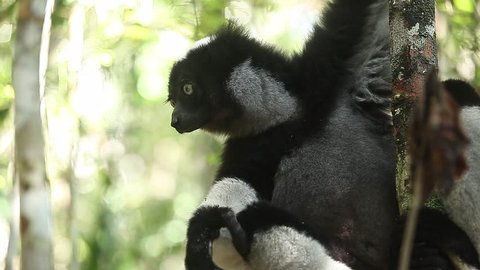 Indri lemur or Babakoto (Indri indri) eats leaves in the forest. With sound