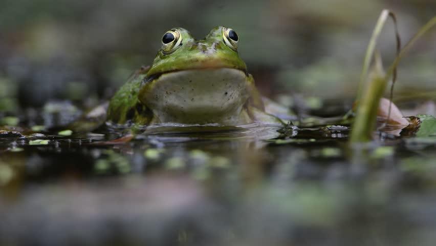 pond frog croaking