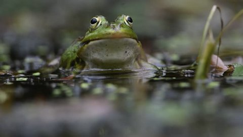 pond frog croaking