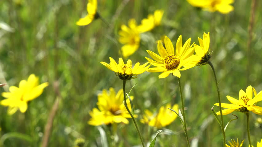 close up of several bright yellow arnica flowers in yellowstone national park, usa