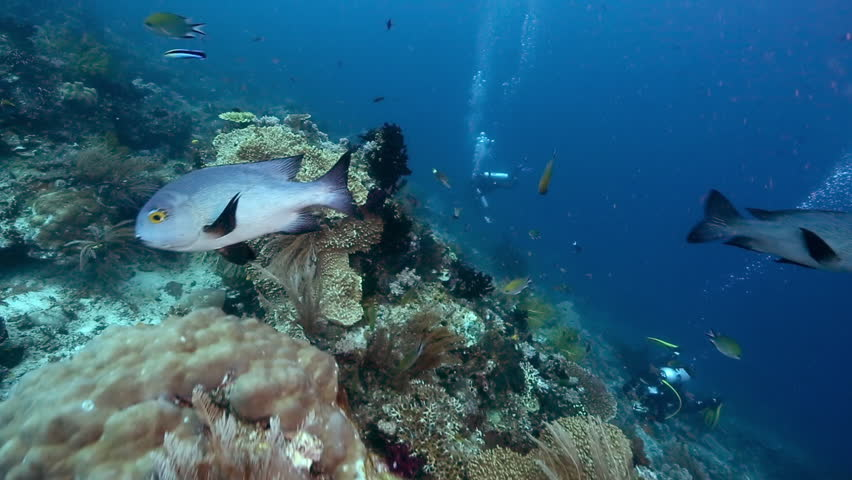 Scuba divers explore coral reef abundant with fish including black and white snapper #31183129
