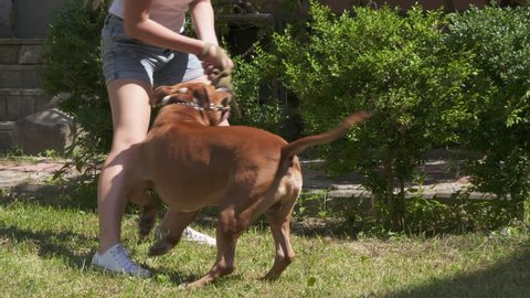Young girl playing with her american staffordshire terrier dog outside. Happy pit bull and girl have fun together on grassy backyard lawn. Pitbull jumping and spinning in slow motion.