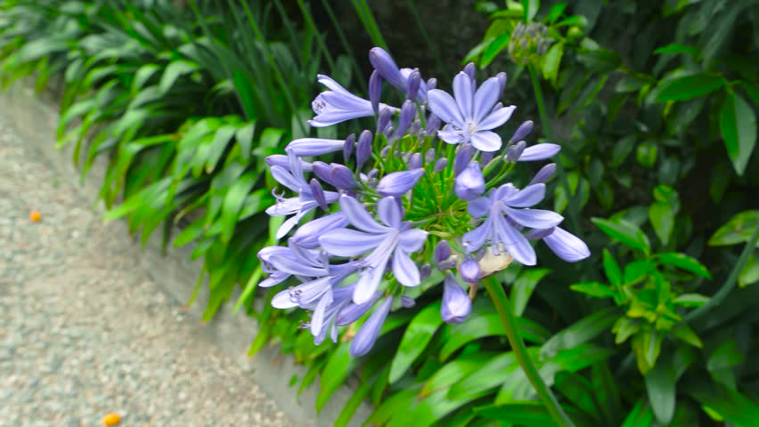 Purple Hosta Flowers Blooming Plant Stock Footage Video 100