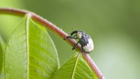 Bird Dropping Weevil, Black & White Weevil (Sternuchopsis trifidus)
