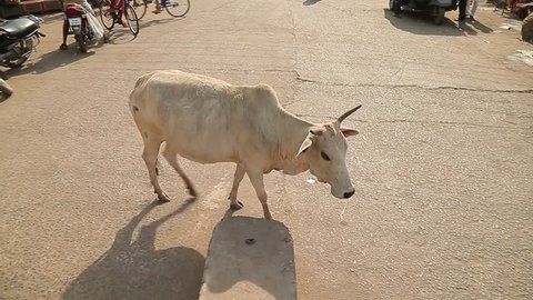 Thin poor cow crosses a street. India.