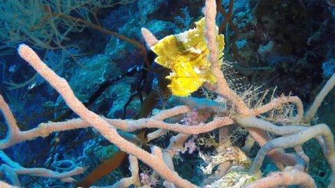 Yellow leaf scorpionfish (Taenianotus triacanthus) sitting in coral, slow motion view, Derawan Island
