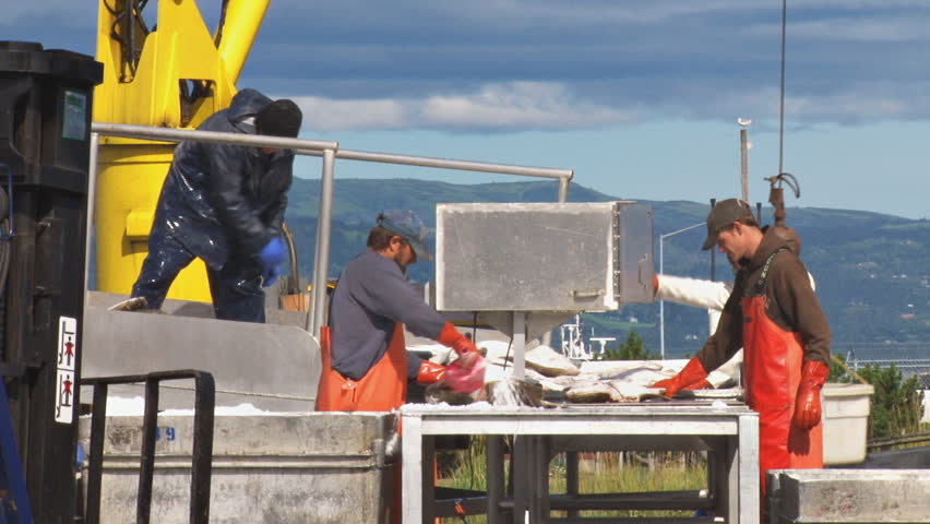 HOMER, AK CIRCA 2012: Shin-deep in slimy halibut, the table dancer aligns the