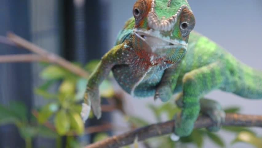 Silly Chameleon Shoots Tongue