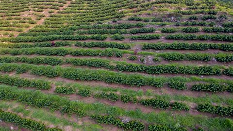 CIRCA 2010s - Coban, Guatemala - Aerial over a young coffe plantation on hillsides in Coban Guatemala.
