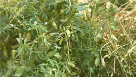 Growing lentils. 2 Shots. 1. The smooth movement of the camera ( from right to left ) along the bush with a growing lentils. 2. Lentils close up. Horizontal ( from left to right ) pan.