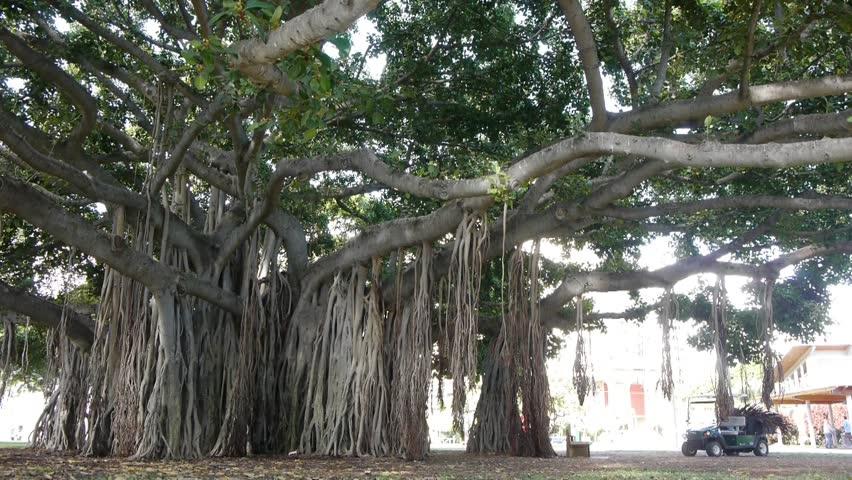 Kết quả hình ảnh cho banian tree