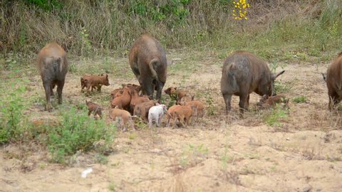 a herd of wild boars in search of food, animals in the natural environment