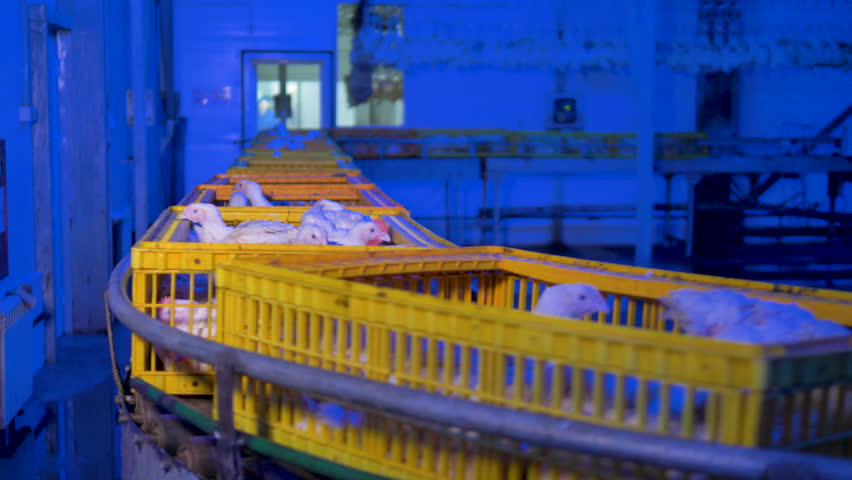 A slow moving conveyor with alive broilers, chickens. 4K.