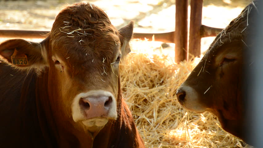 Cattle, oxen, calves or bulls in a barn with straw in a cattle fair