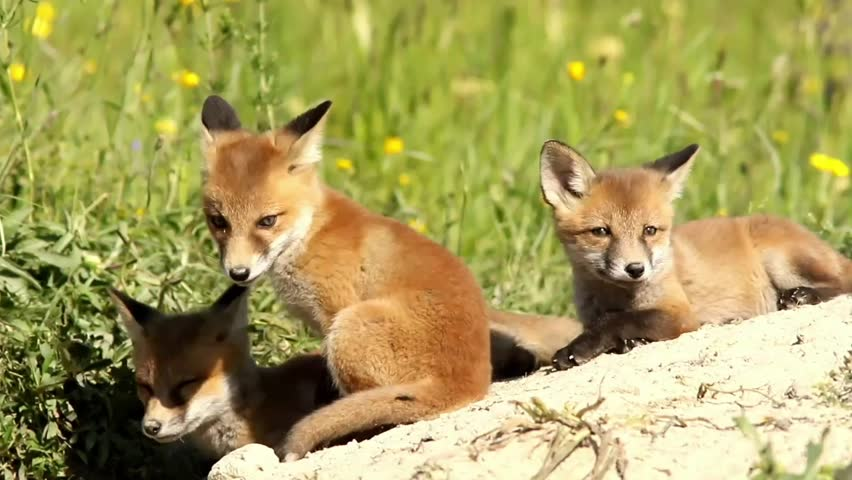 playful fox cubs ( Vulpes ) near the den; the moment of the jump in slow motion