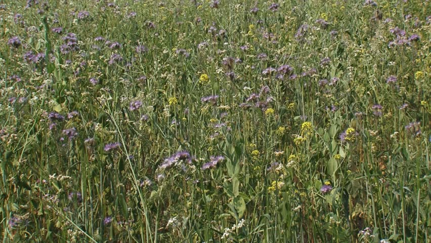 hold + pan left. Field edge with wild flowers. Sowing diverse weed flora alongside field edges, provides opportunities for insects, birds and other small animals.