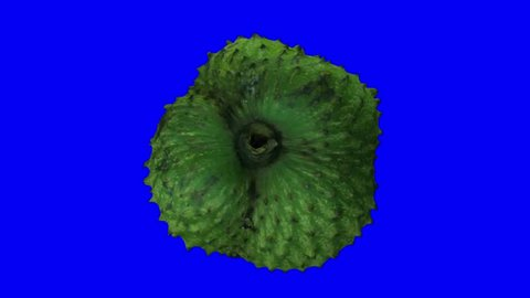Realistic render of a rotating soursop (graviola) on blue background. The video is seamlessly looping, and the 3D object is scanned from a real soursop.