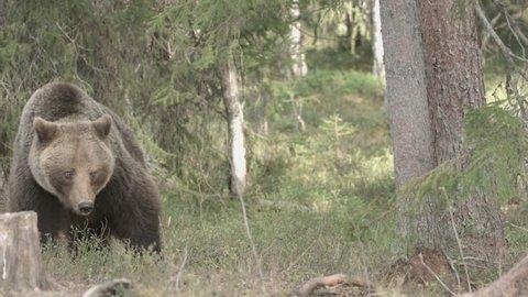 wild european brown bear in finland