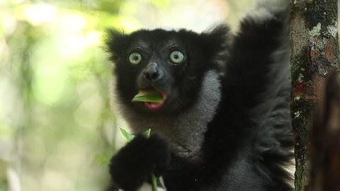 Loopable seamless footage of the Indri lemur (Indri indri) eating leaf in the forest