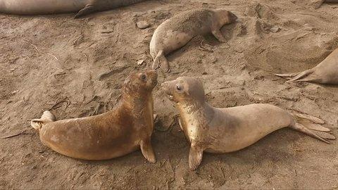 Two Female Elephant Seals Play Pacific Coast California USA