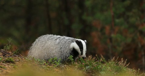 Badger in green forest, animal in nature habitat, Slovakia, central Europe. Wildlife scene from nature. Animal in wood. Cute black white grey mammal feeding blueberry, badger behaviour. Badger meadow.